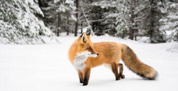 Impronte degli animali sulla neve: come riconoscerle? - Attrezzatura Trekking
